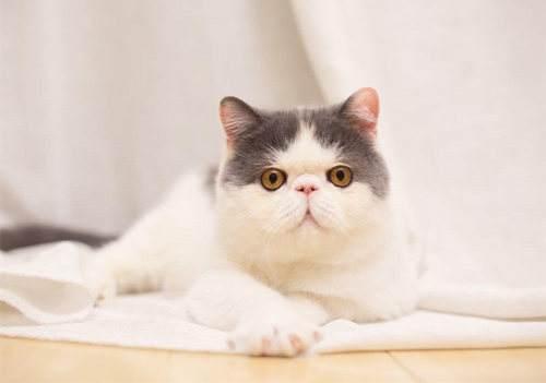 异国短毛猫,总是慢半拍的憨厚派!