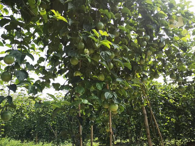 百香果种子快速催芽法