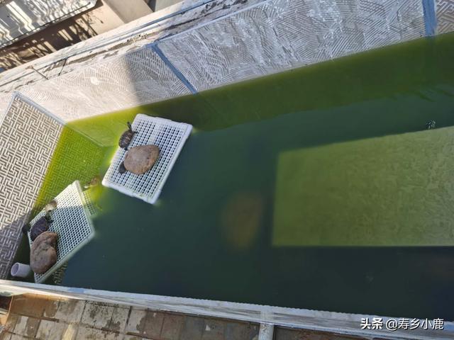 楼顶养龟,全露天龟池容易长青苔,青苔是否需要清理?