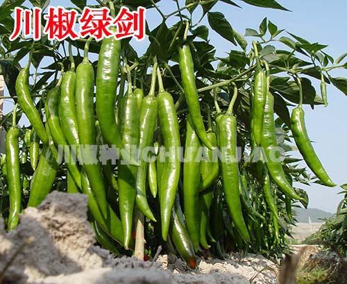 种植辣椒需要育苗,可你会用辣椒种子育苗吗?