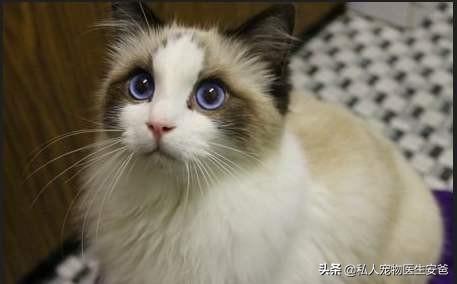 猫咪的品种-第7张图片-深圳宠物猫咪领养送养中心