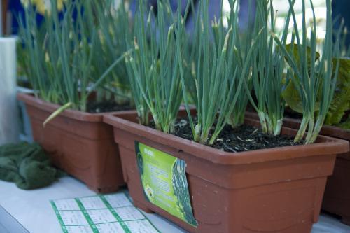 在阳台养香葱盆栽,让你拥有可以不断收割葱叶_手机搜狐网