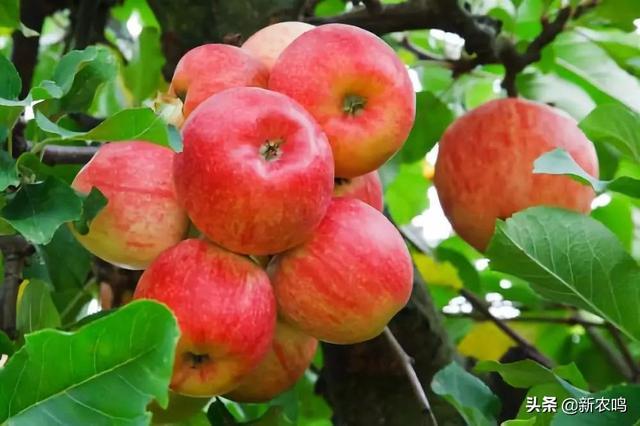 苹果进入二次膨大期,5个措施有效促进果实膨大