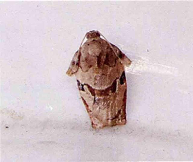 顶梢卷叶蛾成虫图片