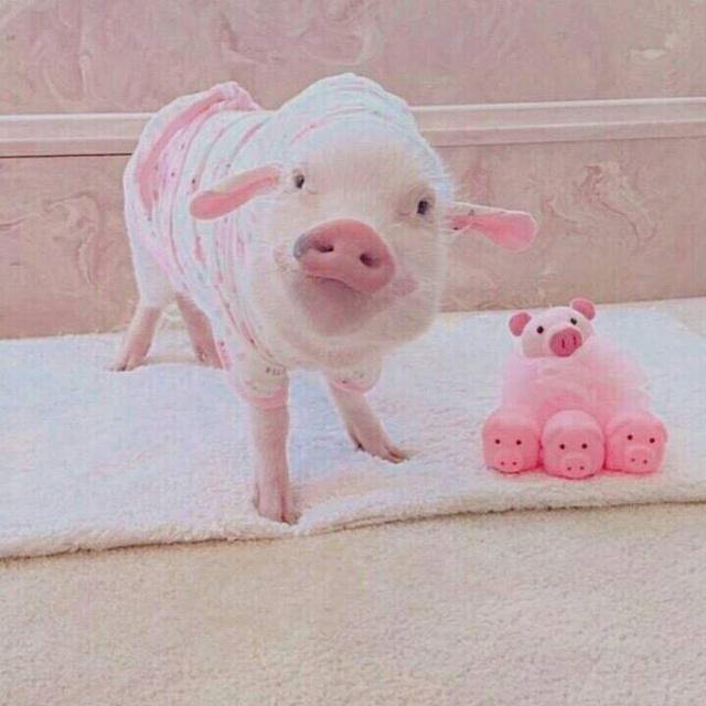 「猪猪头像」吸猪吗魔方甜点壁纸