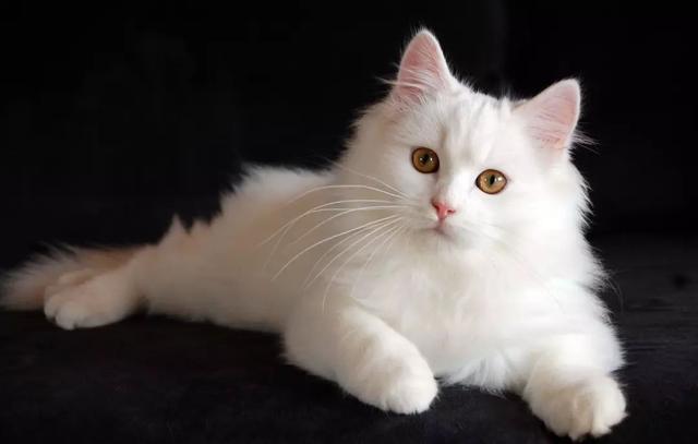 山东狮子猫幼猫图片