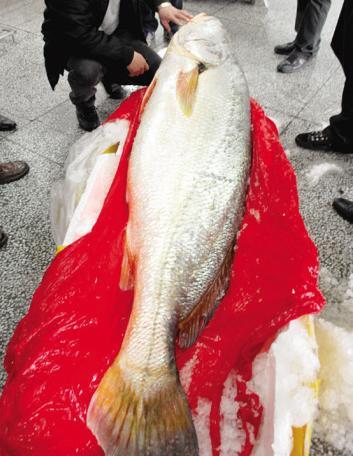 这才是世界上最贵的鱼