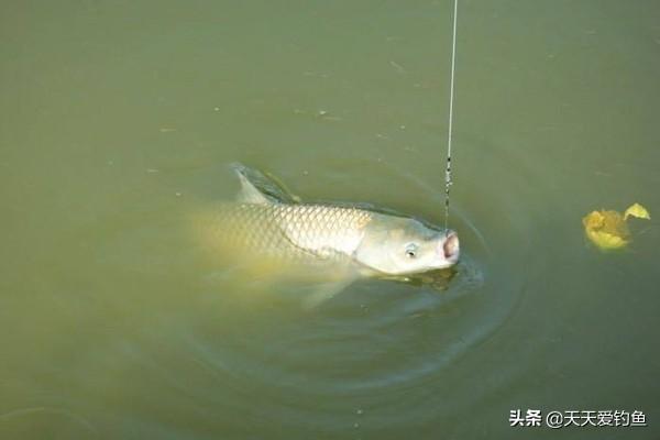 秋季野钓草鱼 三招没个跑!(图) - 四海钓鱼 - 吃... - 手机铁血网