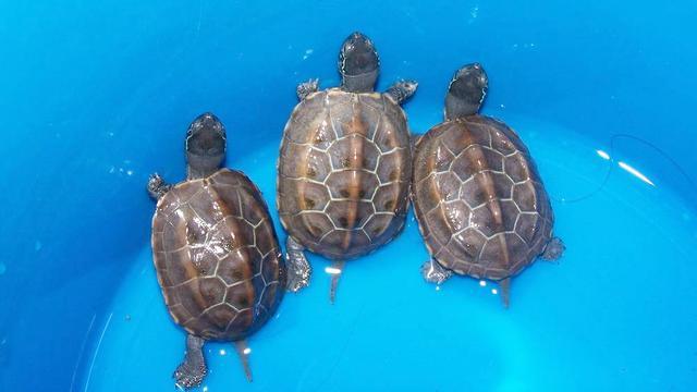 乌龟怎么分辨公母?简单啊