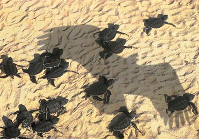海龟,只负责生不负责养的动物,连孩子的性别都是由沙滩温度决定