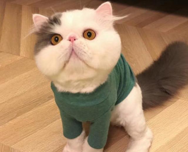 教你选猫系列,猫咪品种介绍及品相判断(13)——异国短毛猫