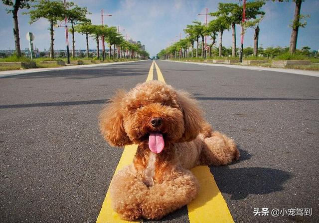 要想让泰迪犬毛发光泽美丽,吃什么是很重要的_东方头条