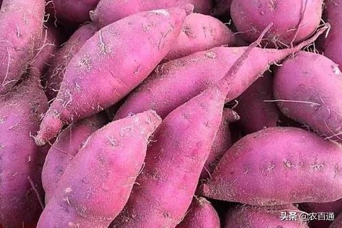 红薯高产栽培技术 2 - 豆丁网