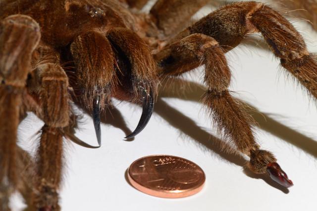 日本最大的蜘蛛的图片