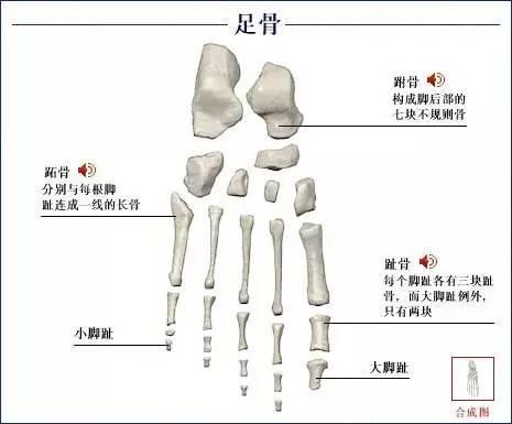 身体骨骼图整体结构图