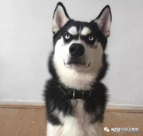 狗头表情包哈士奇