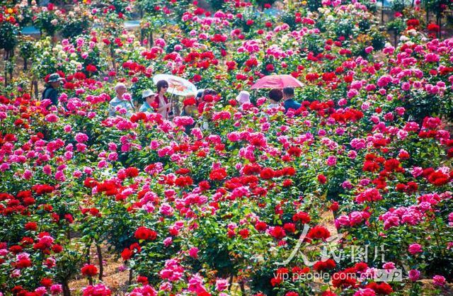 99玫瑰花图片大全大图
