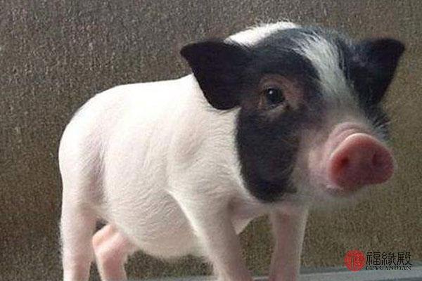 属猪的人和哪个属相的人最般配?看完觉得太准了!_姓名网