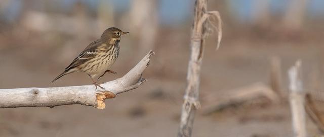 栗背岩鹨,你知道这种小鸟吗?