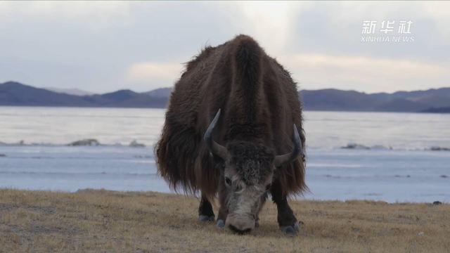 西藏牦牛头骨