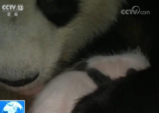 大熊猫幼崽图片