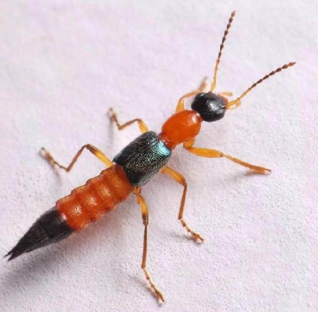 卧室里常见的虫子图片
