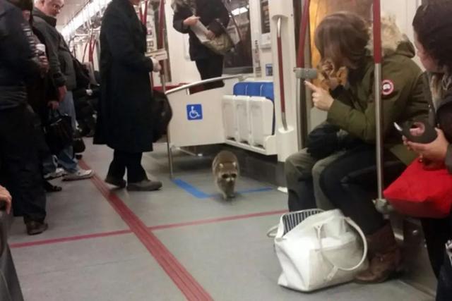 小浣熊正作为一股邪恶势力蔓延全球