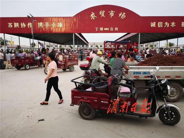 合阳县百良镇:花椒丰收采摘忙 群众喜洋洋