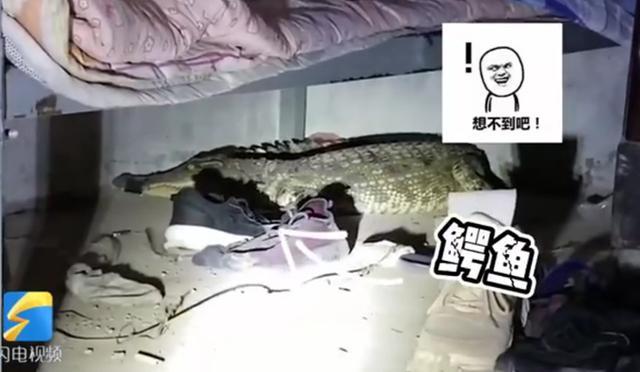 家中床下突现1米多长鳄鱼 与动物园工作人员恶斗后被捕