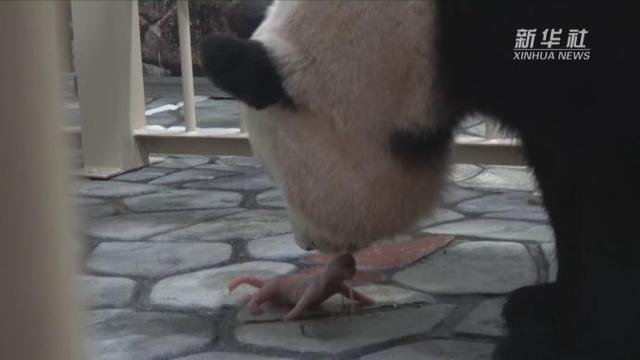 大熊猫头像可爱图片
