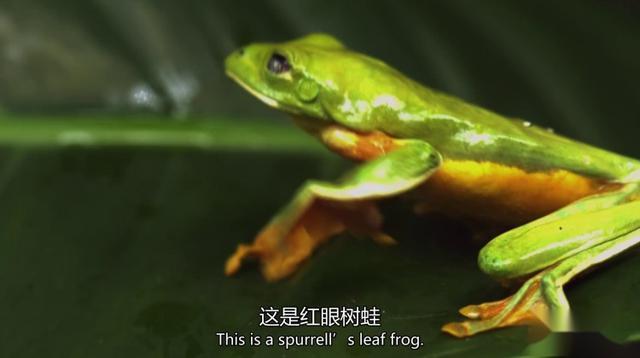 非洲凶残巨型牛蛙