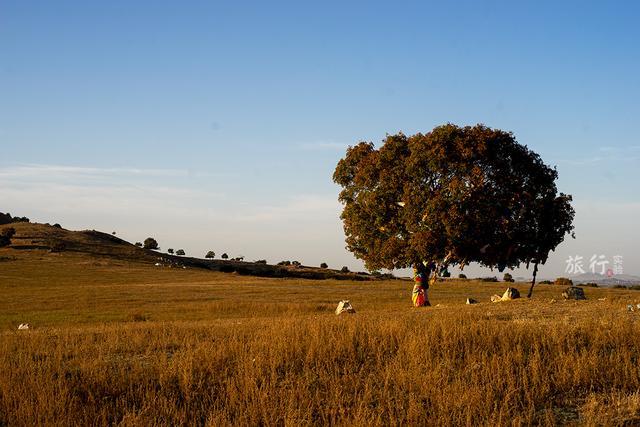 五角枫盆景图片