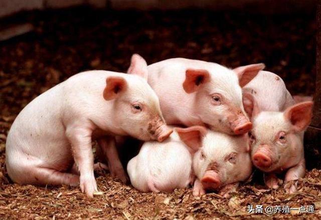 仔猪断奶腹泻释疑解惑,饲料饮水管理既要调整又要缓变