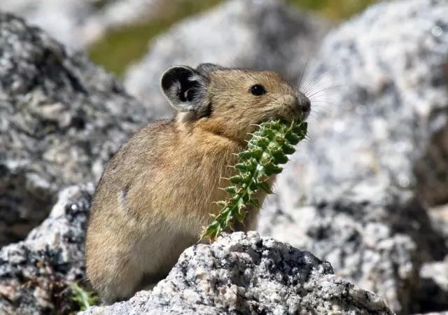 秘境贡山 高山小萌物 • 鼠兔