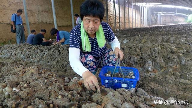 山东茌平:博平张岳村日摘万斤草菇待售