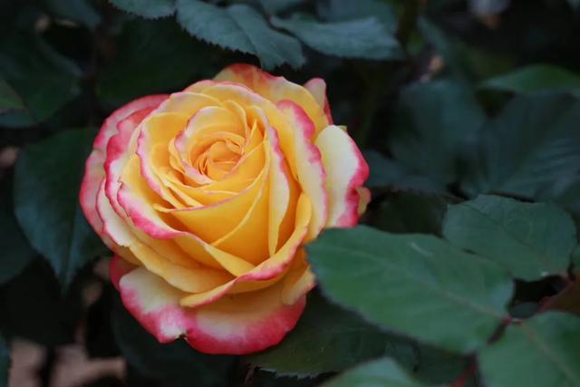 黑玫瑰花图片大全大图