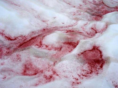 西瓜雪之谜?几千年来,红色的西瓜雪一直在展示着自己的瑰丽
