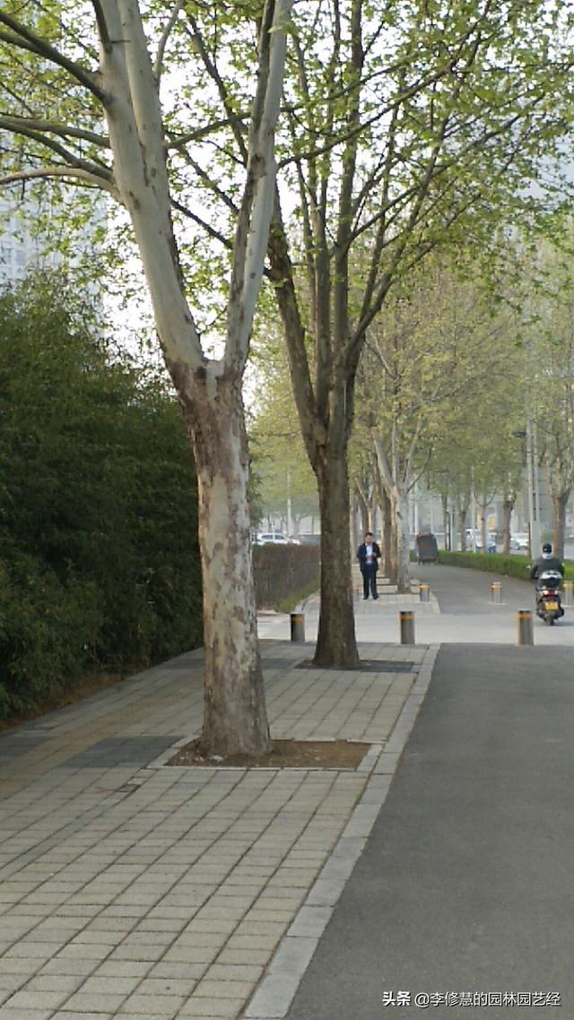 市政景观绿化养护之行道树栽植与养护