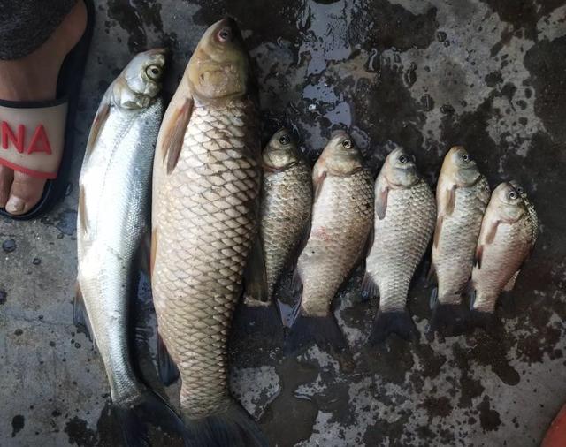 夏秋季节用嫩玉米钓草鱼的一些经历