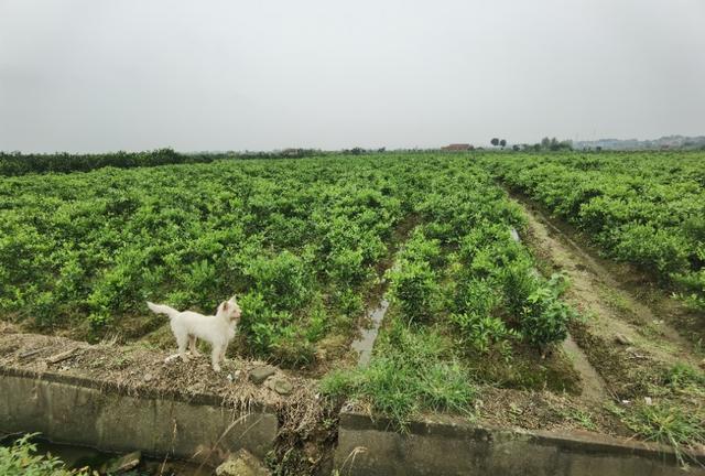 湖北枝江:柑橘育苗巧用3招,一年长到1米高,人见人爱