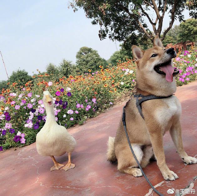 王珞丹寻找的鸭子吉吉已被食用,当地警方回复已知此事,网友称鸭子价格可能上万