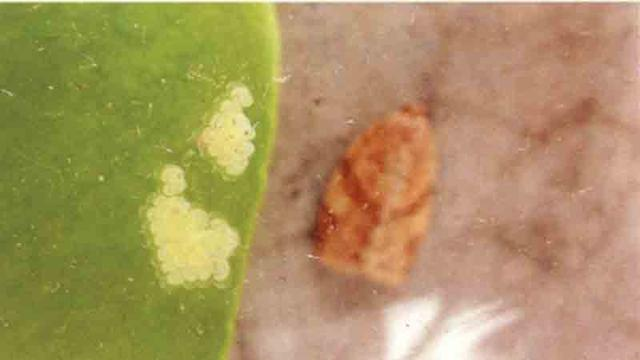 云杉卷叶蛾的图片