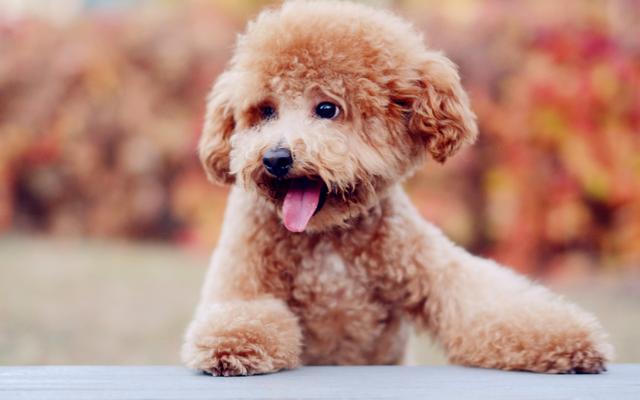 泰迪狗毛怎么梳蓬松,怎么让泰迪的毛蓬松_东方头条