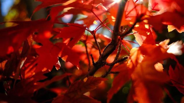 江陵愁望寄子安,漫山红遍,层林尽染,诗人笔下的这些诗,比枫叶还美