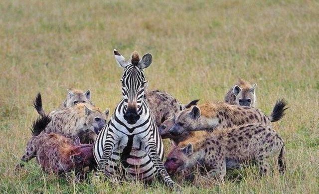 """在非洲大草原上,掏肛技术鬣狗一家独大?它也常被对手反""""掏"""""""