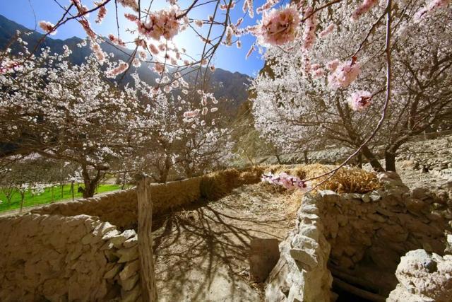 走马春季追花线 | 春漫新疆,牧笛声声中的杏花村