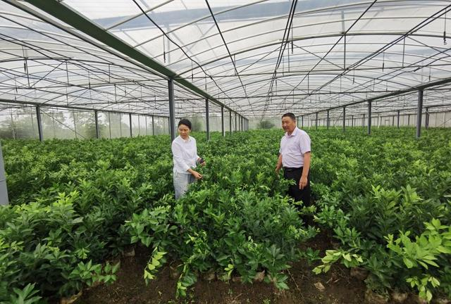 湖北枝江:古月苗木巧用3招,一年长到1米高,人见人爱