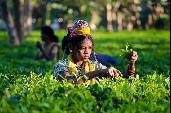 印度茶叶史--普洱茶网-www.puercn.com