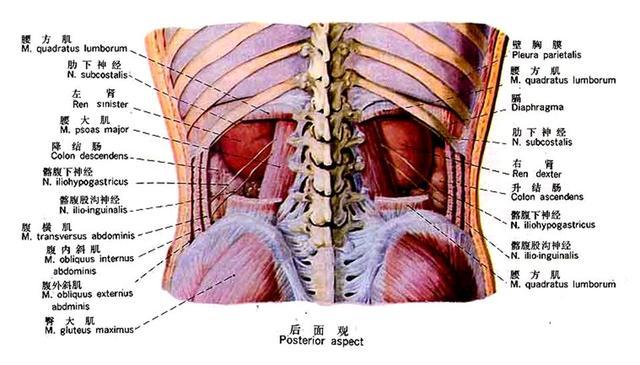 男性生殖系统解剖ppt