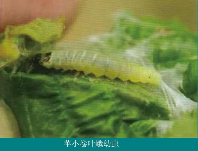 茶树卷叶蛾图谱